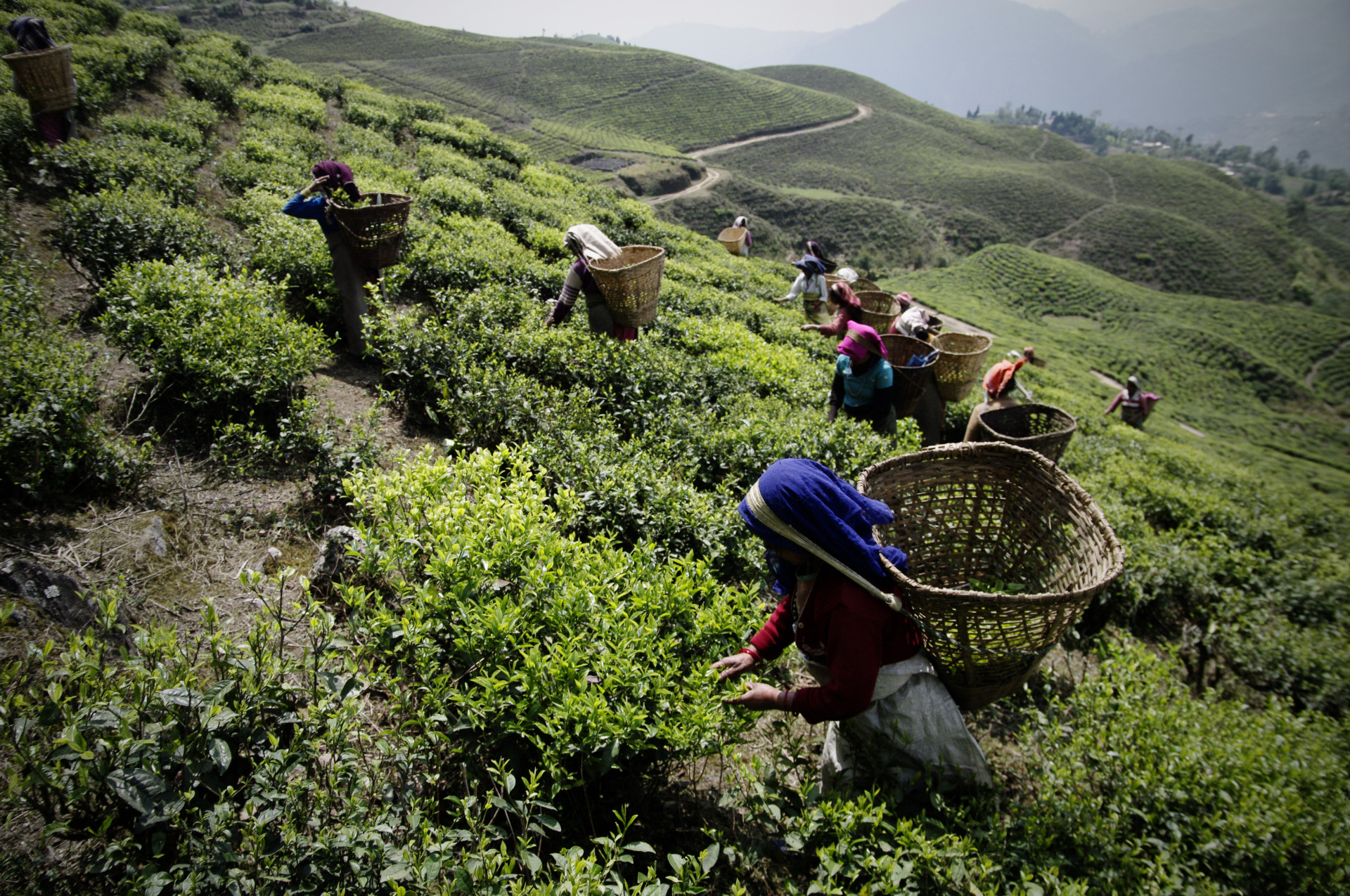 Tea hearvest in Ilam (Nepal)