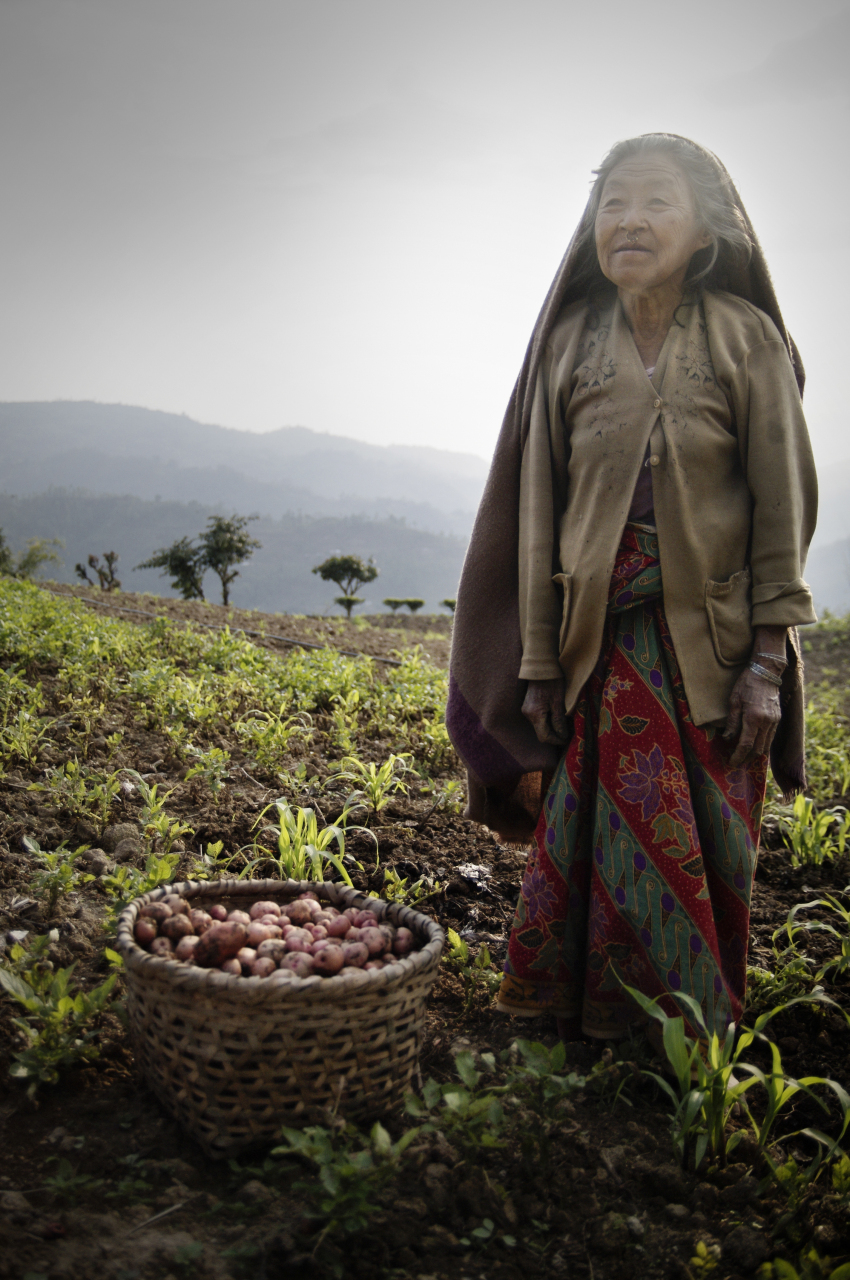 Potato harvest in Ilam (Nepal)