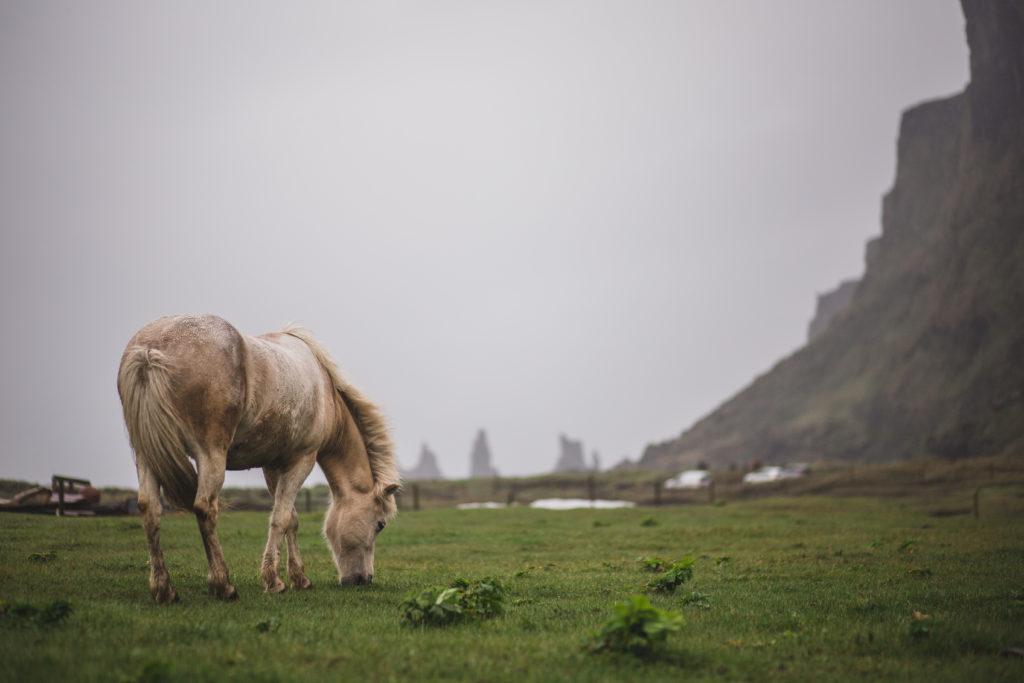 Icelandic Horse, Iceland, Vik, Vík, Island, Black Beach