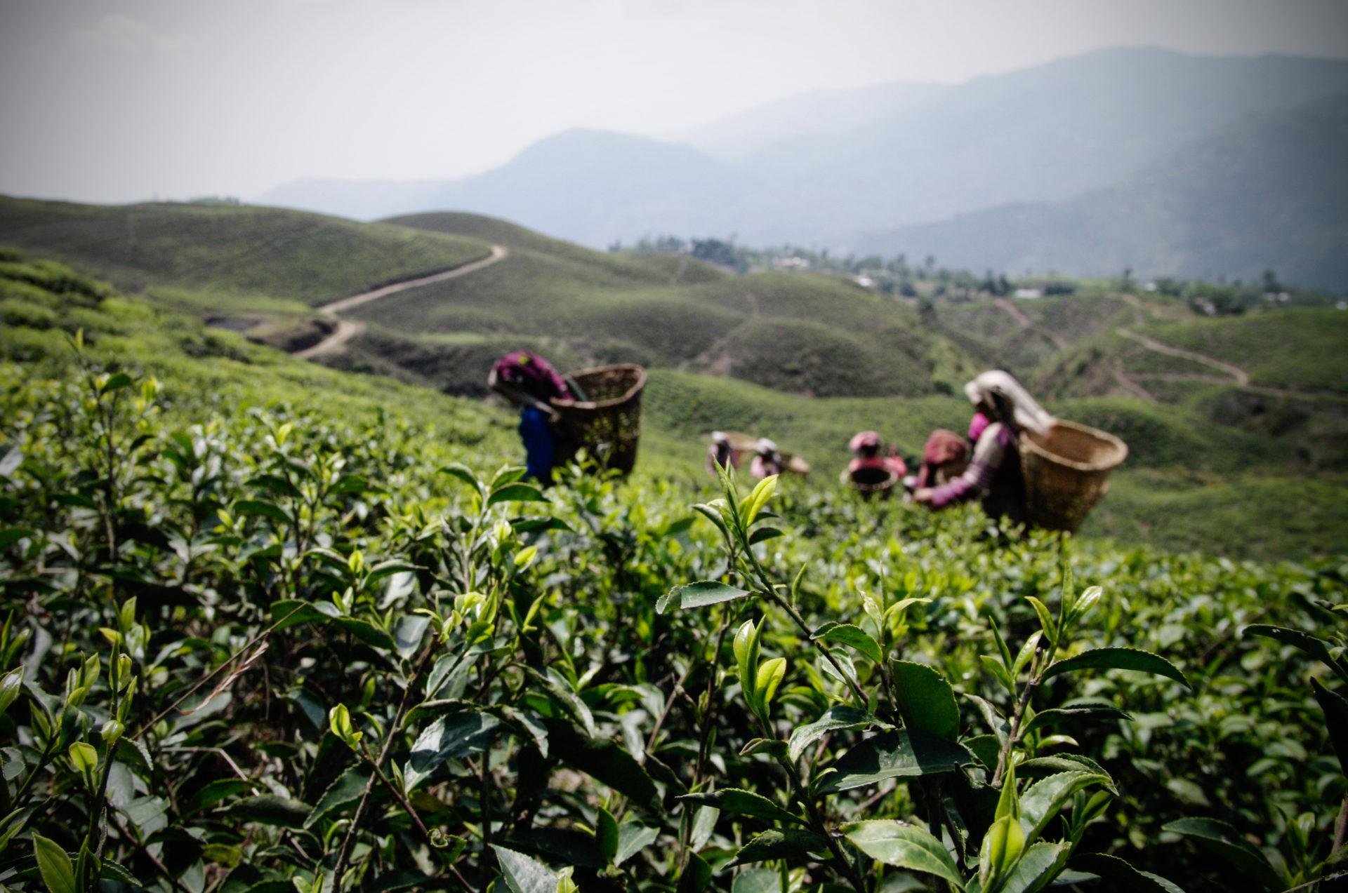 GIZ_Nepal_Organic-Tea_Ilam_IGP6610_Carolin-Weinkopf