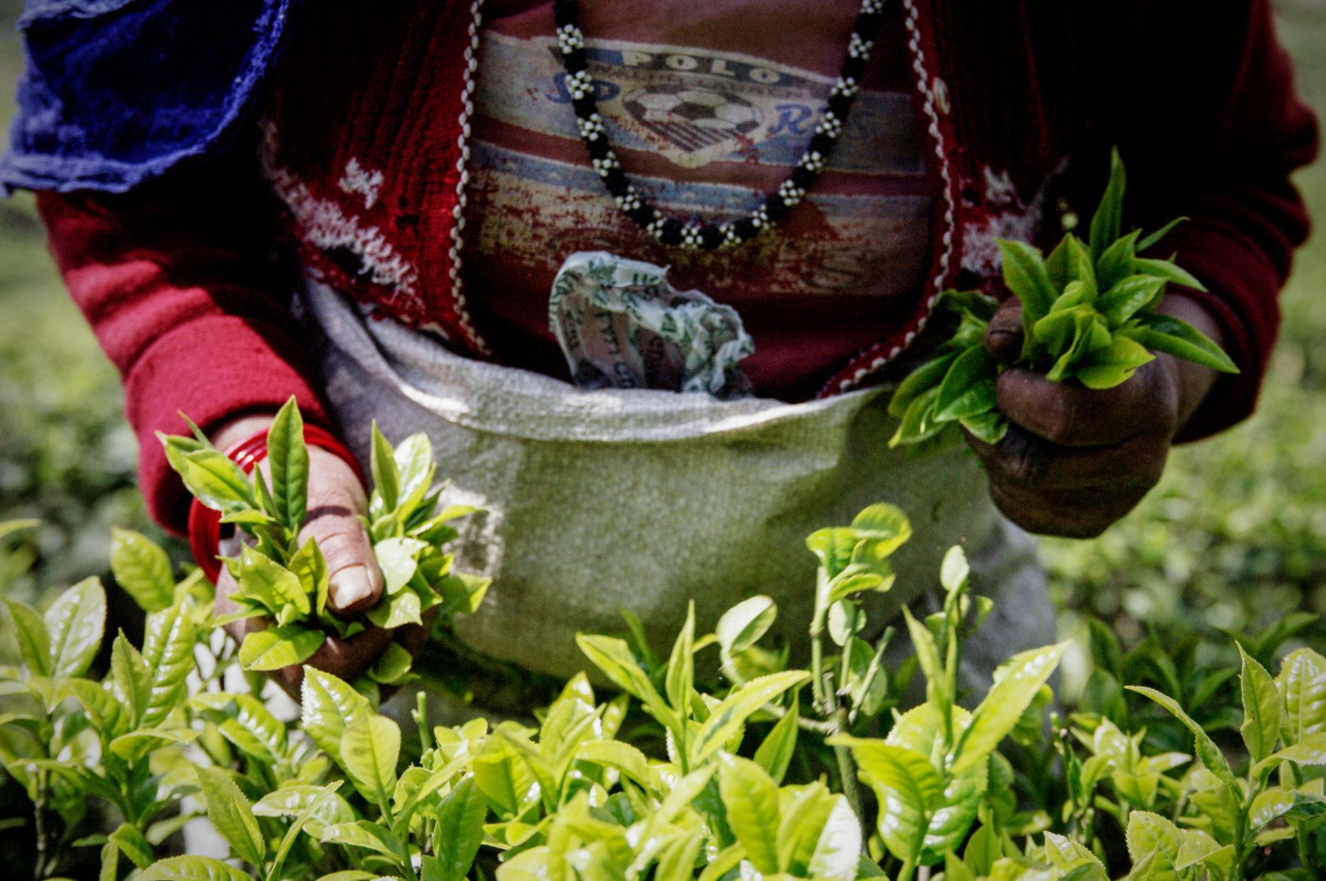 GIZ_Nepal_Organic-Tea_Ilam_IGP6659_Carolin-Weinkopf